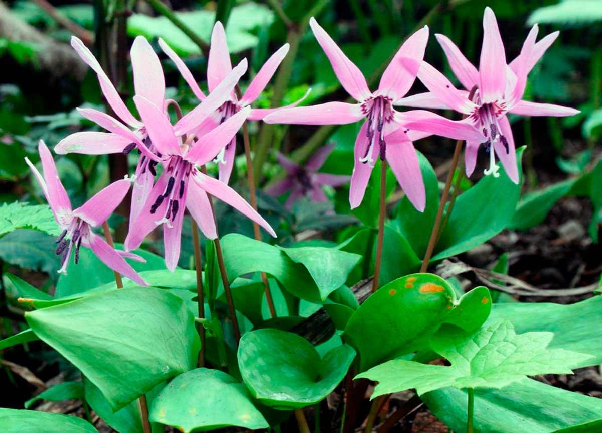 Кандык (ФОТО) - уход и посадка цветка