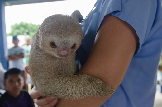 An Adolescent Sloth Brought In By Ngabe Family
