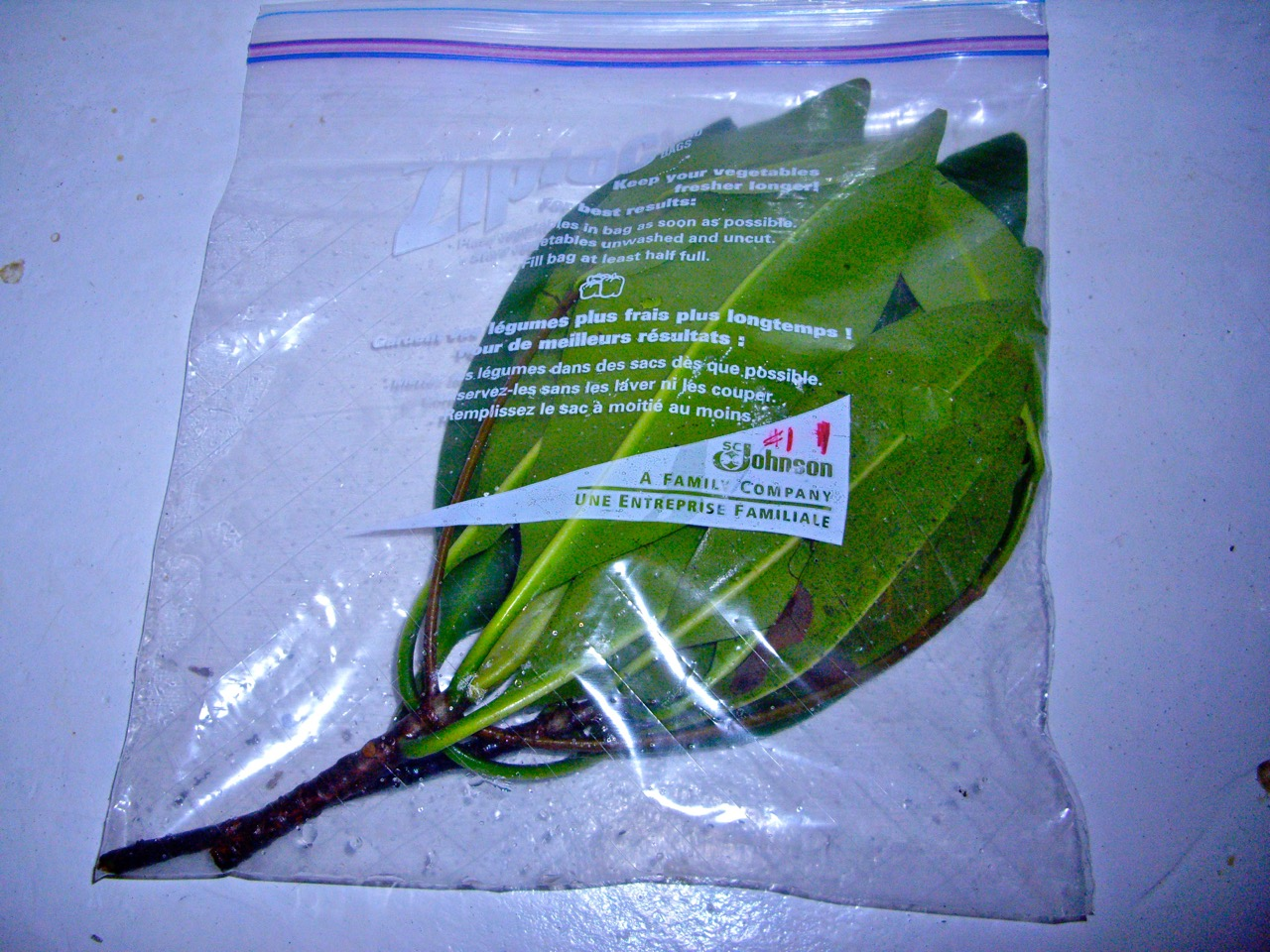 A Leaf Used For Kidney Health