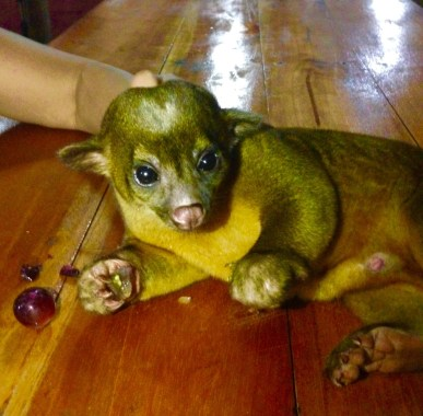 Max, Our Rescue Kinkajou On Base