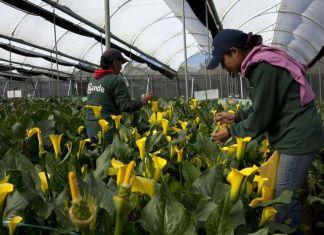 Cultivo de flores orgánicas y sus tendencias