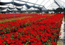 La importancia de modernizar los invernaderos de flores