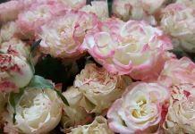 Nuevo tipo de rosas impactan en el mercado europeo