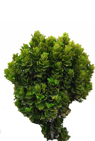 kapystnoe-tree