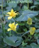 Ranunculus ficaria L. subsp. ficaria