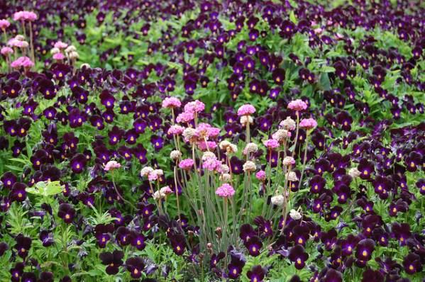 viola nigra