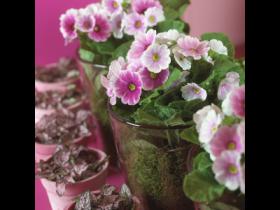 Sweet Primula obconica