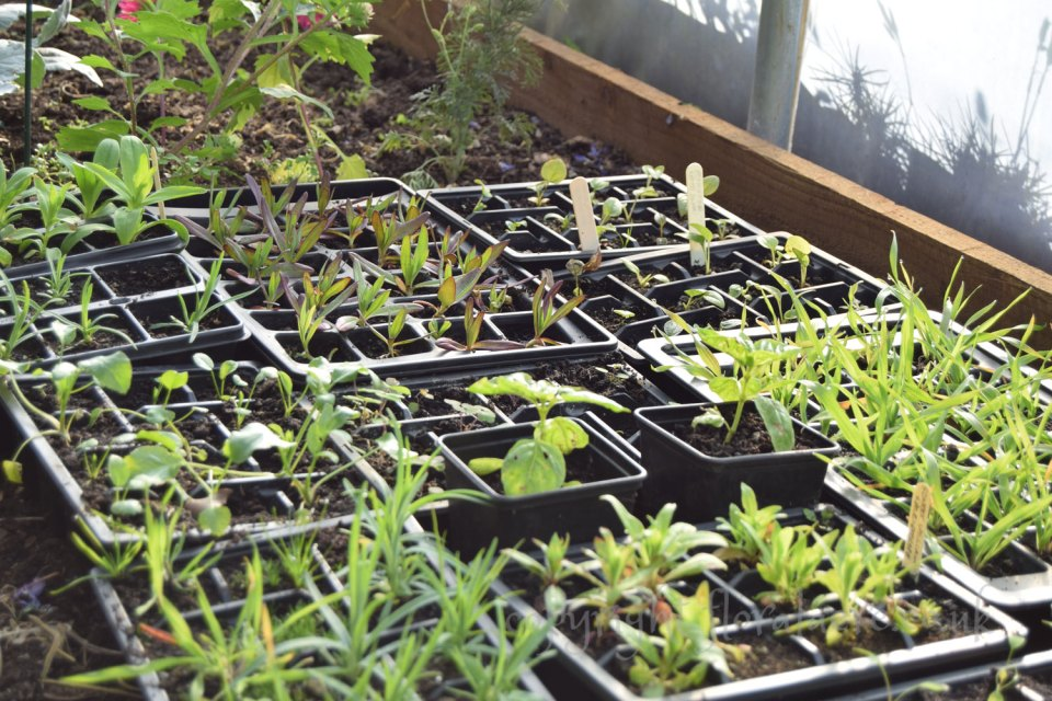 Seedlings in poly tunnel