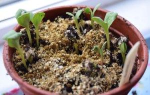 Carthamis tinctorius seeds germinating.