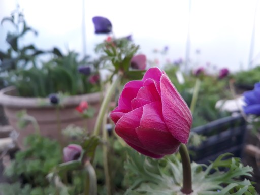 Pink Anemone in bud
