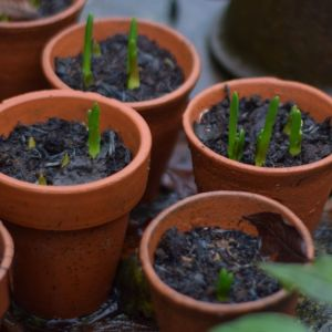 Teracotta pots of Muscari bulbs