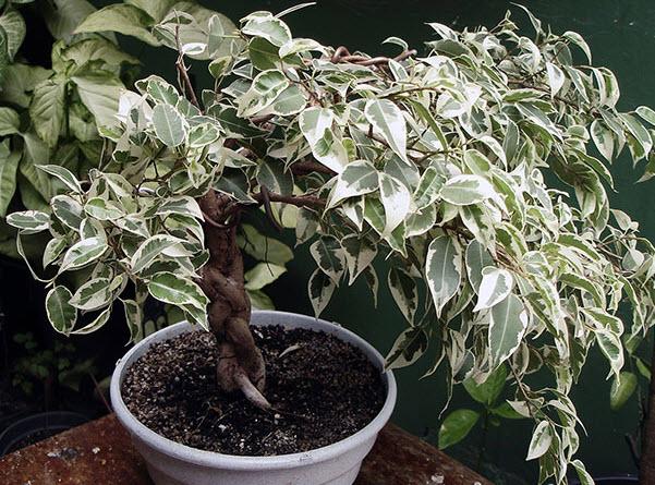 Evde Ficus Buyuyor Evde Bir Yapraktan Ficus Nasil Yetistirilir