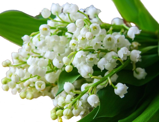 Floral Dictionary: Lily of the Valley