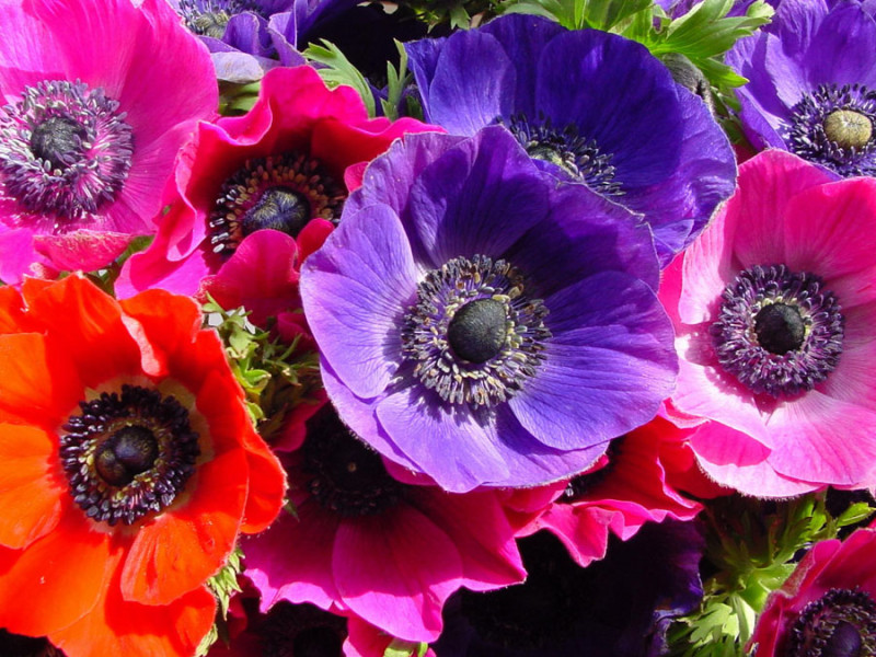 anemone flower photo