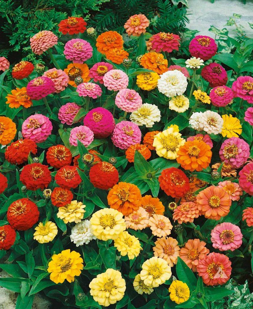 season zinnia flowers