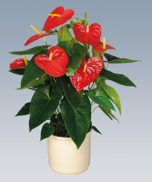Anthurium Pot - Dakota