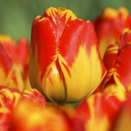akciós tulipám