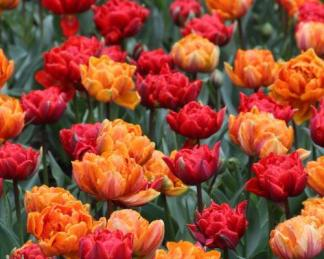 Orange Princess, Abba - teltvirágú tulipánok