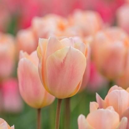Üde kora tavaszi virágválogatás 1 A négyféle tavaszi virág alkotta harmónia vidáman jelzi, hogy végre itt a tavasz. <ul>  <li><em>Kiszerelés: virághagyma és ültetőedény; a fajtáknál láthatóak a részletek</em></li>  <li><em>Minimális rendelési mennyiség: a fajtáknál látható</em></li> </ul>