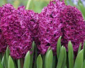 hyacinthus-woodstock