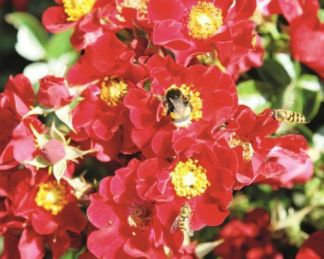 bienenweide rot piros miniatűr rózsa