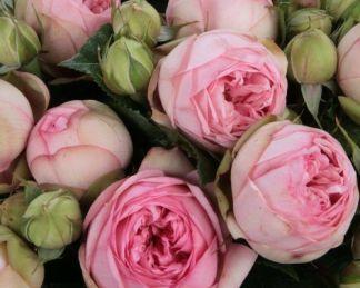 charming piano nosztalgia teahaibrid rózsa