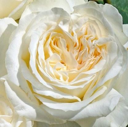 rosa_irina teahibrid rózsa