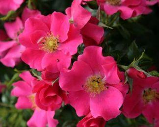 stadt rom talajtakaró rózsa