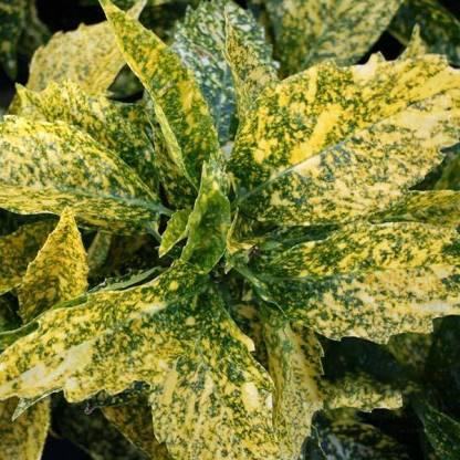 aucuba japonica crotonifola gold levélzete