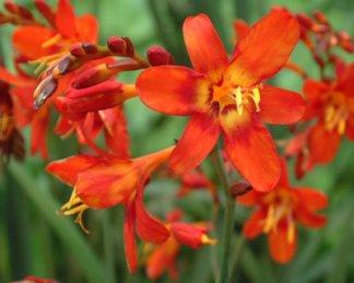 crocosmia_babylon florapont sáfrányfű
