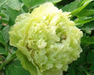 Paeonia suffruticosa 'Dou Lv' - fás szárú bazsarózsa