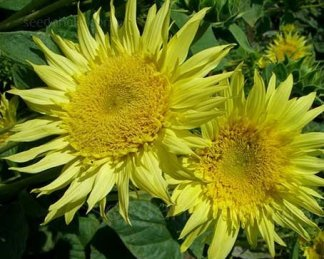Helianthus annuus 'Starburst Lemon Aura'