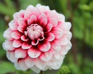 dahlia checkers dekorativ dália florapont