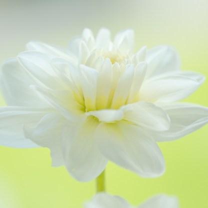 dahlia-eternal-snow waterlily dekoratív dália