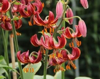 A Lilium martagon 'Claude Shride' - Turbánliliom