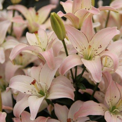 Lilium 'Spring Pink' Ázsiai liliom