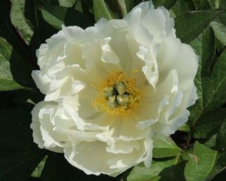 Paeonia Itoh 'White Emperor' - Itoh bazsarózsa hibrid