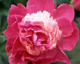 paeonia_santa fe florapont bazsarózsa 2