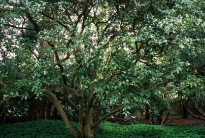 Osmanthus x burkwoodii - illatcserje 1 Örökzöld, sűrű ágrendszerű, középmagas, kerekded formájú cserje.  <em>Kiszerelés: konténeres, 5 literes, 60/80 cm magas</em>