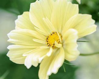 Cosmos bipinnatus 'Xanthos' - sárga pillangóvirág