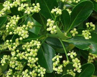 Euonymus-japonicus-florapont