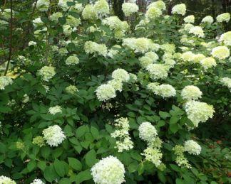 Bugás hortenzia - Hydrangea paniculata