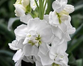 Matthiola 'Cinderella White'