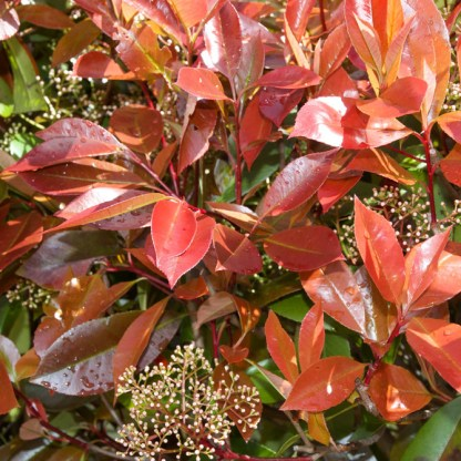 korallberkenye Photinia-x-fraseri-Red-Robin_florapont