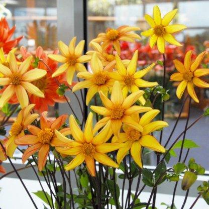 dália dakota Egyszerű virágú sárga