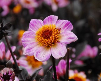 dahlia-dark-angel-american-pie egyszerű virágú dália
