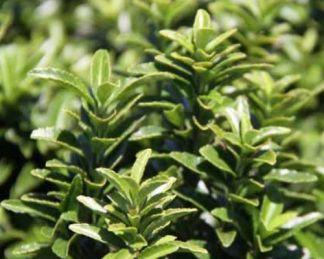 euonymus-emerald-gem-florapont