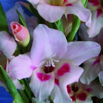Gladiolus nanus 'Elvira'(20 db) 1 Az <strong>Elvira </strong>alacsonyabb fajtájú kardvirág, magassága kb. 50-60 cm. Virágjai kb. 10 cm-esek, csodálatos rózsaszínűek, vörös foltokkal, tölcsér formájúak.