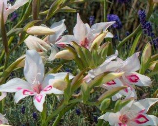 gladiolus-nanus-nymph kardvirág alacsony