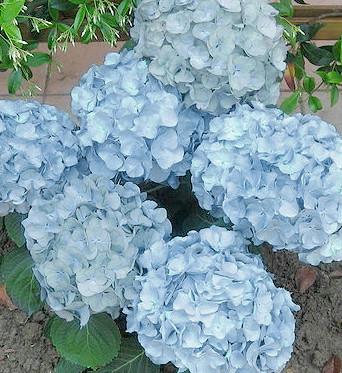 hydrangea-macrophylla-baby-blue-hortenzia-kerti hortenzia
